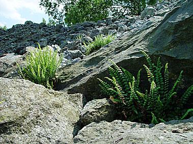 Auf den serpentinit halden bei zöblitz im erzgebirge gedeihen heute